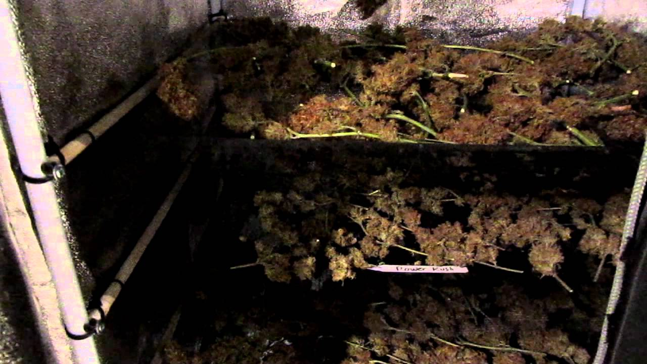& Drying and curing pot in a grow tent - YouTube
