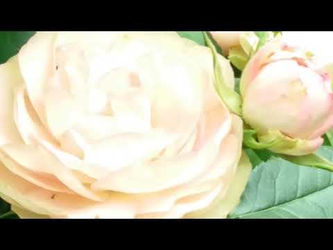 Розы.#розы Подмосковья