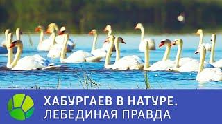 Лебединая правда   Хабургаев в натуре   Сезон 1