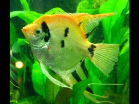 Rescued Giant Monster Angelfish Plus Angel Fish Spawning