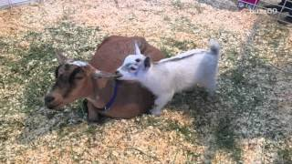 Baby goat stolen from Arizona State Fair has been found