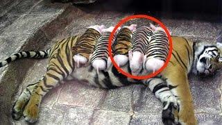 10 Unglaubliche Tiere die andere Tiere adoptiert haben