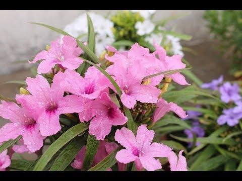 Beautiful bloom on my pink,purple and white mexican petunia flowersUrdu