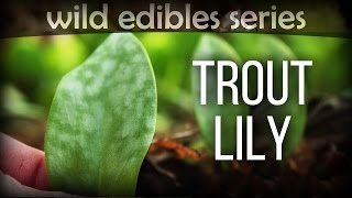 Trout Lily - Wild Edibles Series