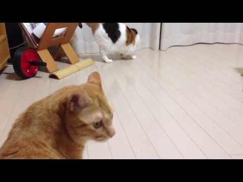 こむぎ猫こころ猫 マタタビで猫が変わる Silver vine cats