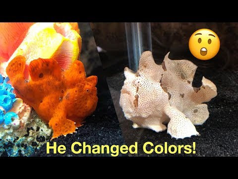 Frogfish Update And Feeding!  He Changed Colors!