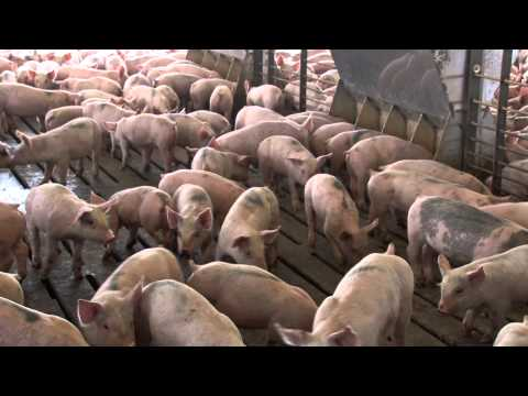 Hog Farming in Nebraska