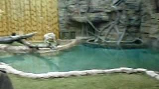 Siberian Tiger footage