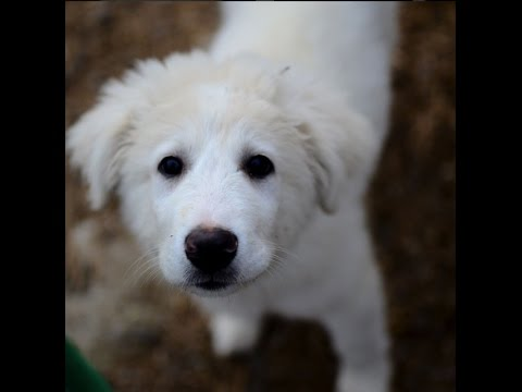 Brining a Great Pyrenees to the farm.