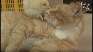 A Mother Cat Takes Care Of A Little Chick, Not A Kitten?!   Kritter Klub
