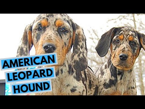 American Leopard Hound Dog Breed - Facts and Info