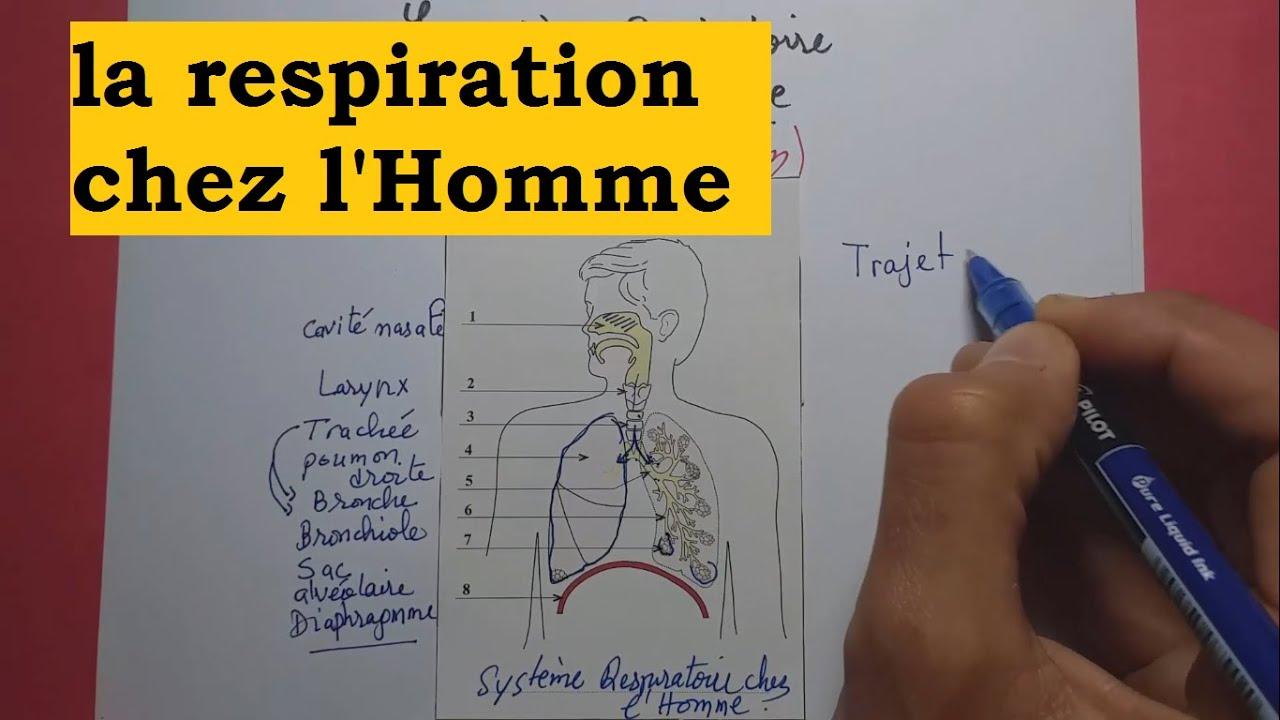 Respiration - circulation