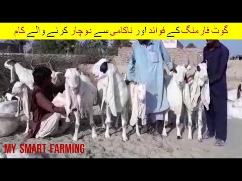 21 | Benefits and failure reasons | گوٹ فارمنگ  فوائد اور ناکامی وجوہات  | Goat Farming Pakistan