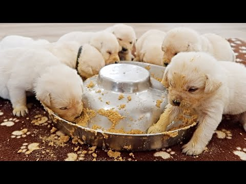 Labrador Puppies First Meal | Cute Compilation!