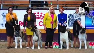 American Akita AMIKUS XCLUSIVE TANAIS ALWAYS WINNER aka KEKS | ALMIGHTY AKITAS VIDEO