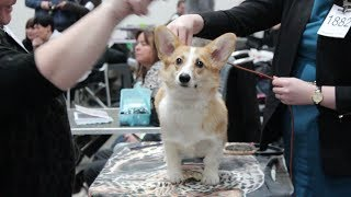 Dog Show / Mika The Corgi