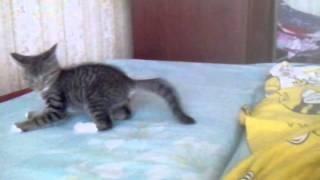 Приколы с животными. Веселый котенок.