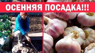 Осенняя посадка чеснока. 6 секретов хорошего урожая