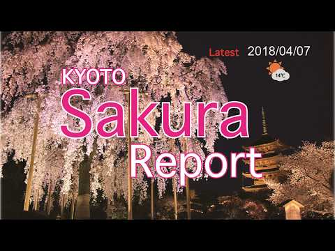 Kyoto Sakura report 2018/04/07