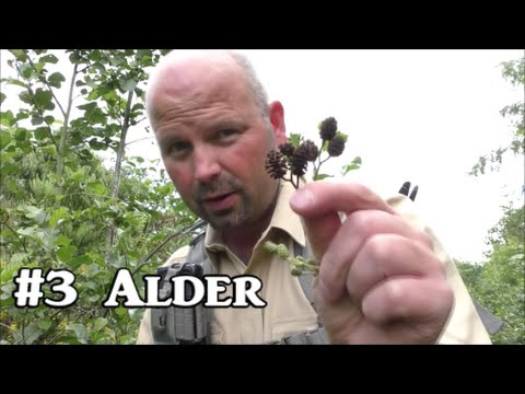 Alder - Plant Identification, Uses and Folklore