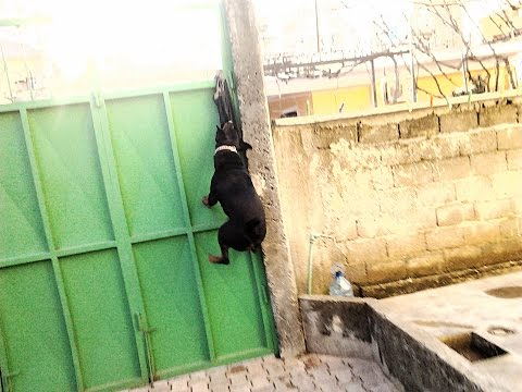 Rottweiler Jumping The Wall