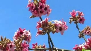 Пчёлки на цветках Брахихитона!!!Кирьят-Ям.Израиль.