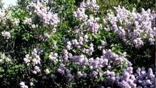 Gardening Tips: Growing Lilacs and What You Need the Most