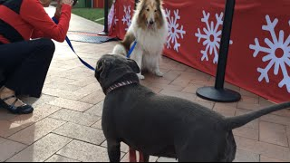 Bella The Blue Staffy & Champ's Holiday Adventure At The Mall