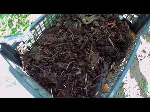 Как развести червей для рыбалки Содержание и кормежка
