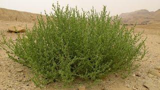 Растение Анабазис безлистный (лат. Anabasis aphylla)