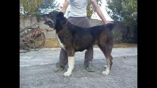 central Asian shepherd dog (greece)-ποιμενικός κεντρικής Ασίας (HD)