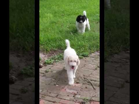 PuppyFinder.com : poodle play