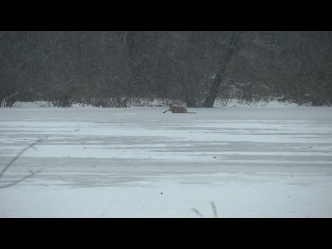 Watch Firefighters Rescue Deer With Legs Frozen in Icy Pond Overnight