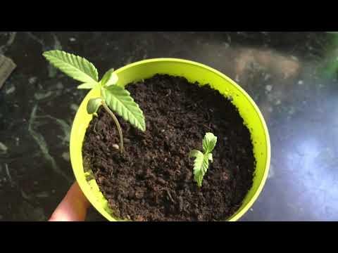 #3 Как вырастить каннабис из семени (Коноплю марихуану) элегантно ))
