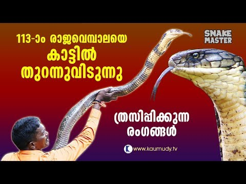 113th King Cobra released in forest | Awesome Visuals | Vava Suresh | Snake Master | Latest episode