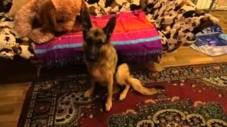 Немецкая овчарка в доме