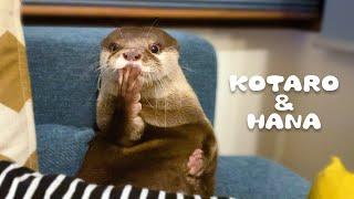 カワウソコタローとハナ 父ちゃんの隣でくつろぎタイム Otter Kotaro&Hana Chill Out Time