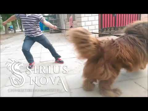 Giant Tibetan Mastiff in China