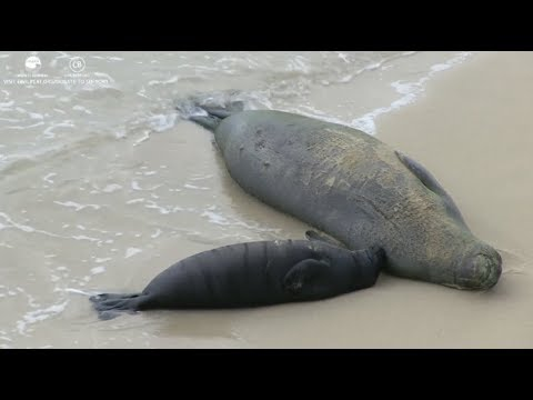 Hawaiian Monk Seal Pup Cam Honolulu, Hawaii