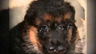 West Coast German Shepherd Puppy Albums - M-litter -sire V1 Zamp Von Der Urbecke