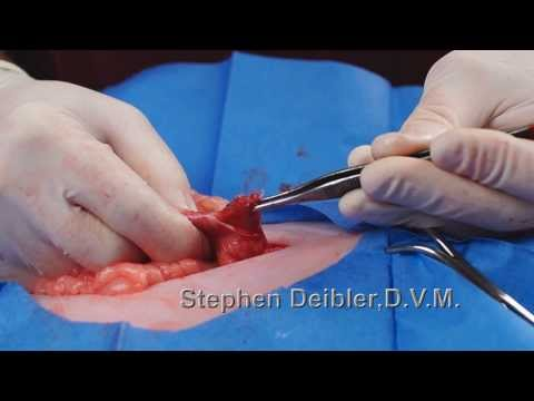 Veterinary Medicine Tinsel Removal Surgery