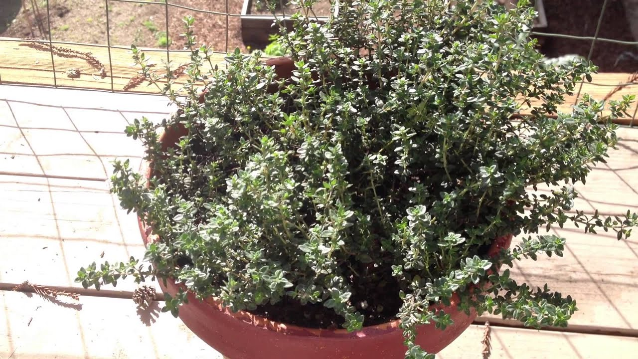 advantages to growing thyme herb in pots youtube. Black Bedroom Furniture Sets. Home Design Ideas