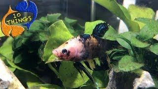 Don't Buy A Betta Fish Without Watching This First. 10 Things You Should Know About Betta Fish.