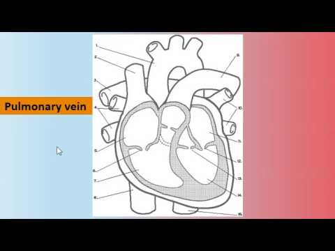 Gcse pe helper the parts of the heart and pathway of blood youtube gcse pe helper the parts of the heart and pathway of blood ccuart Images