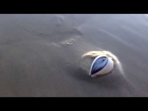 How a clam dig itself into sand! Surprisingly cute!