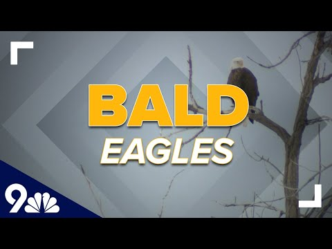 100+ bald eagles counted in minutes at Colorado park