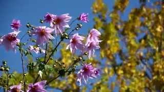 ついに皇帝ダリアが咲き始めた、晩秋から初冬に絶対的存在感、美を誇る...
