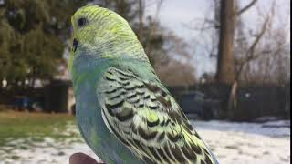 Baby Budgie/Parakeet (Volio)(Волнистых попугаев)