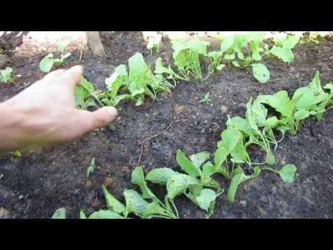 MFG 2013 2 of 3 How to Thin 2 Week Old Radishes & Succession Planting - Spread Out Harvesting!