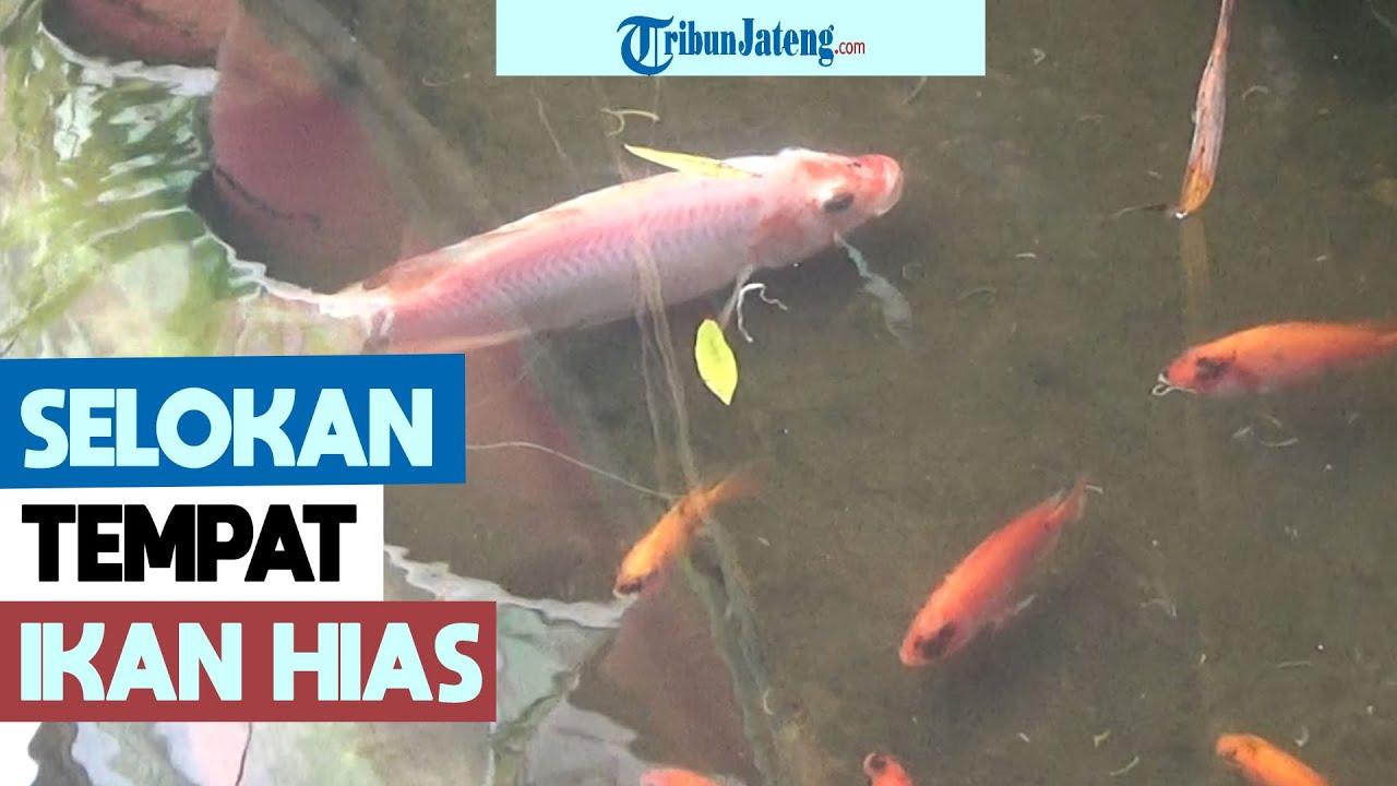 Selokan Di Semarang Jadi Tempat Pelihara Ikan Hias Youtube